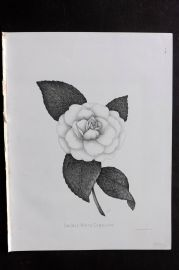 Livings 1888 Antique Botanical Print. Double White Camellia